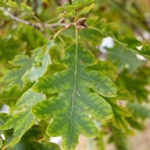 Photographie n°50143 du taxon Quercus pubescens Willd. [1805]