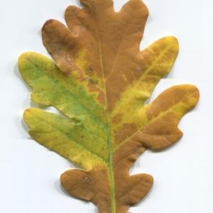 Photographie n°50281 du taxon Quercus robur L. [1753]
