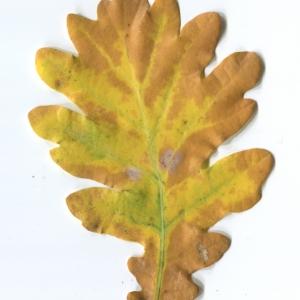 Photographie n°50282 du taxon Quercus robur L. [1753]