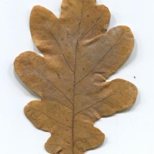 Photographie n°50284 du taxon Quercus robur L. [1753]