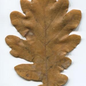 Photographie n°50285 du taxon Quercus robur L. [1753]