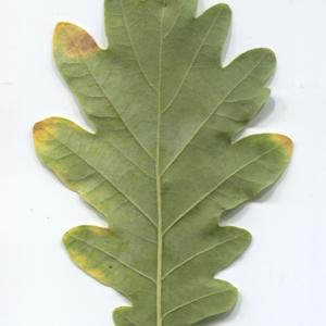 Photographie n°50286 du taxon Quercus robur L. [1753]