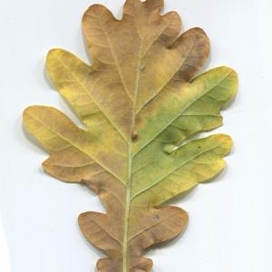 Photographie n°50287 du taxon Quercus robur L. [1753]