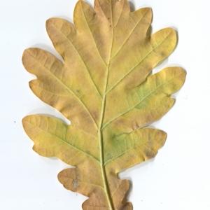 Photographie n°50288 du taxon Quercus robur L. [1753]