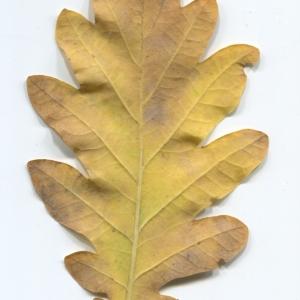 Photographie n°50289 du taxon Quercus robur L. [1753]