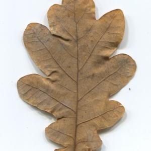 Photographie n°50290 du taxon Quercus robur L. [1753]