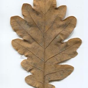 Photographie n°50291 du taxon Quercus robur L. [1753]