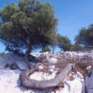 Photographie n°50292 du taxon Pinus halepensis Mill. [1768]