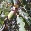 Genevieve Botti - Quercus pubescens Willd. [1805]