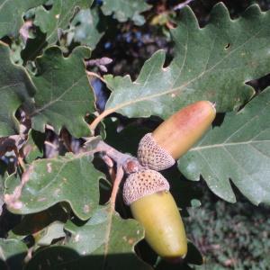 Photographie n°50300 du taxon Quercus pubescens Willd. [1805]