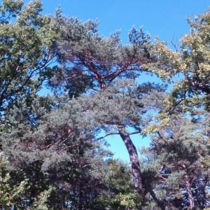 Photographie n°50310 du taxon Pinus sylvestris L. [1753]