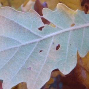 Photographie n°50317 du taxon Quercus pubescens Willd. [1805]