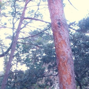 Photographie n°50318 du taxon Pinus sylvestris L. [1753]