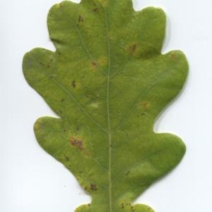 Photographie n°50341 du taxon Quercus robur L. [1753]