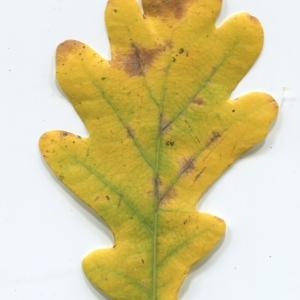 Photographie n°50342 du taxon Quercus robur L. [1753]