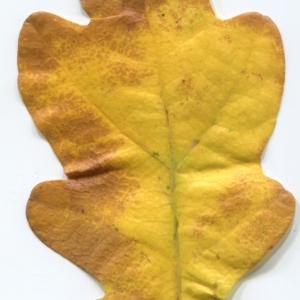 Photographie n°50343 du taxon Quercus robur L. [1753]