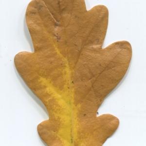 Photographie n°50344 du taxon Quercus robur L. [1753]