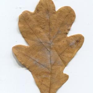 Photographie n°50346 du taxon Quercus robur L. [1753]