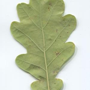 Photographie n°50347 du taxon Quercus robur L. [1753]