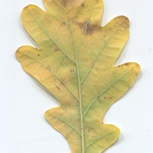 Photographie n°50348 du taxon Quercus robur L. [1753]