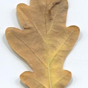Photographie n°50350 du taxon Quercus robur L. [1753]