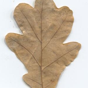 Photographie n°50352 du taxon Quercus robur L. [1753]
