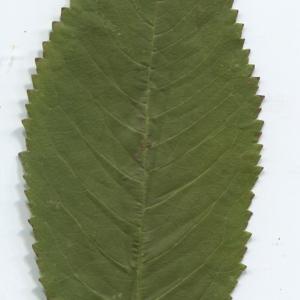 Photographie n°50429 du taxon Prunus avium (L.) L. [1755]