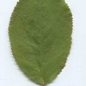Photographie n°50430 du taxon Prunus avium (L.) L. [1755]