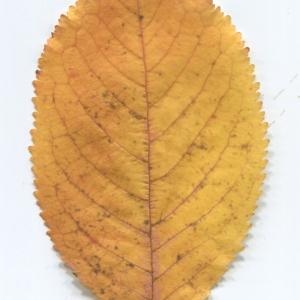 Photographie n°50431 du taxon Prunus avium (L.) L. [1755]
