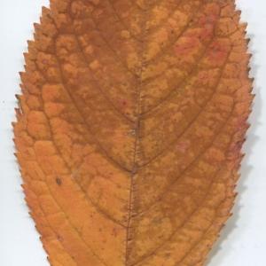 Photographie n°50432 du taxon Prunus avium (L.) L. [1755]
