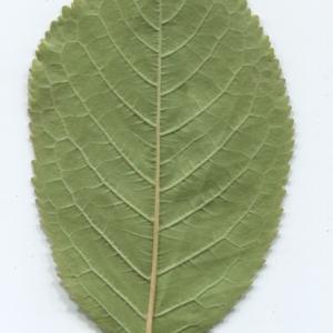 Photographie n°50434 du taxon Prunus avium (L.) L. [1755]
