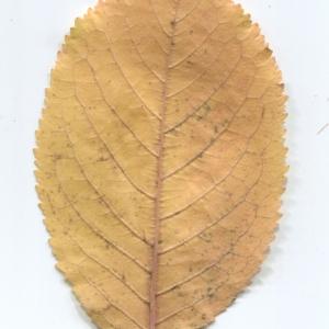 Photographie n°50435 du taxon Prunus avium (L.) L. [1755]