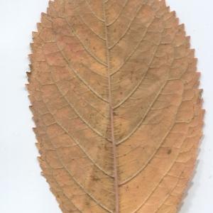 Photographie n°50436 du taxon Prunus avium (L.) L. [1755]