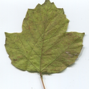 Photographie n°50447 du taxon Viburnum opulus L. [1753]