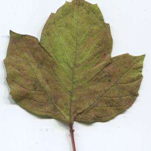 Photographie n°50450 du taxon Viburnum opulus L. [1753]