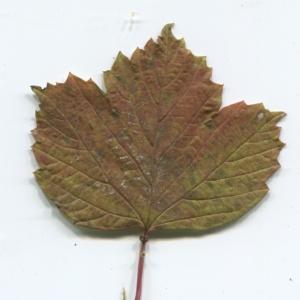 Photographie n°50452 du taxon Viburnum opulus L. [1753]