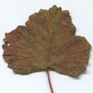 Photographie n°50453 du taxon Viburnum opulus L. [1753]