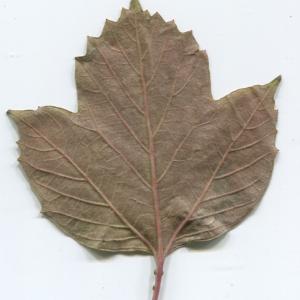 Photographie n°50456 du taxon Viburnum opulus L. [1753]