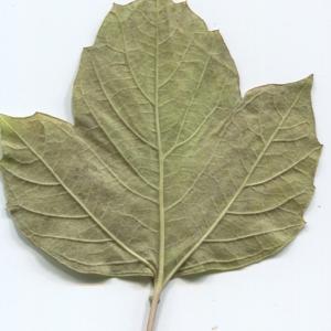 Photographie n°50457 du taxon Viburnum opulus L. [1753]
