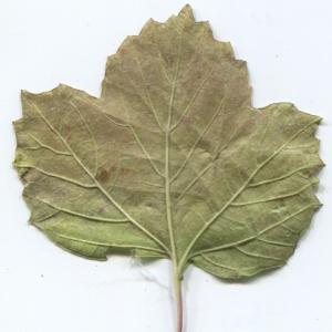 Photographie n°50458 du taxon Viburnum opulus L. [1753]
