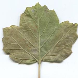 Photographie n°50459 du taxon Viburnum opulus L. [1753]