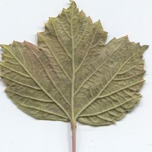 Photographie n°50460 du taxon Viburnum opulus L. [1753]