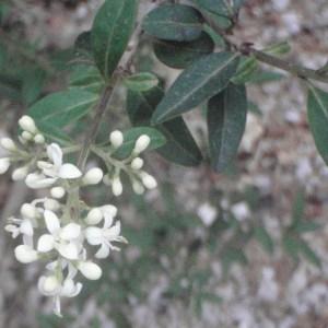 Photographie n°50546 du taxon Ligustrum vulgare L. [1753]