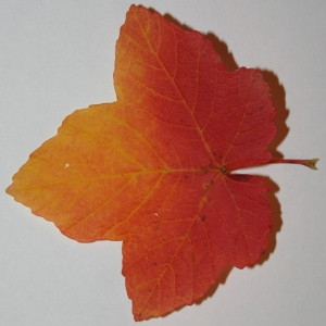 Photographie n°50552 du taxon Acer opalus Mill.