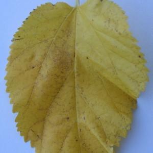 Photographie n°50555 du taxon Morus alba L. [1753]