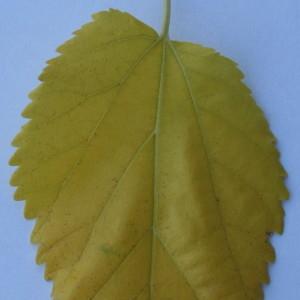 Photographie n°50556 du taxon Morus alba L. [1753]