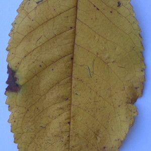 Photographie n°50561 du taxon Prunus avium (L.) L. [1755]