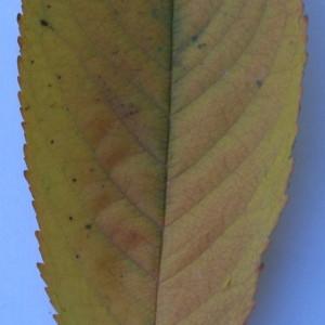 Photographie n°50562 du taxon Prunus avium (L.) L. [1755]