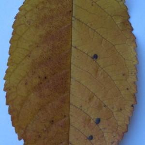 Photographie n°50565 du taxon Prunus avium (L.) L. [1755]