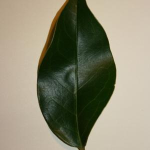 Photographie n°50584 du taxon Ligustrum vulgare L. [1753]